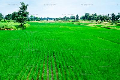 Green farming field