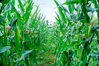 Corn on the stalk in the corn field