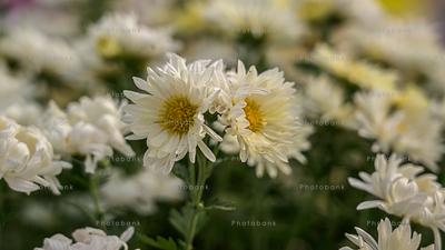 White Marguerite daisy