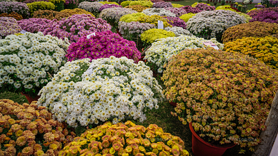 Group of different coloured Marguerite daisy