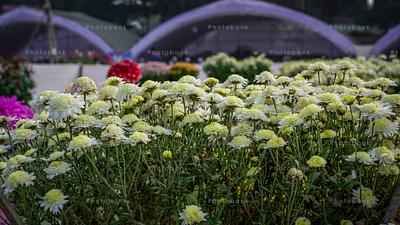 Group of Yellowish white coloured Dahlia