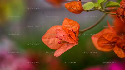 Great bougainvillea flowers