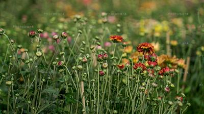 Dahlia small buds