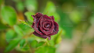 Maroon rose