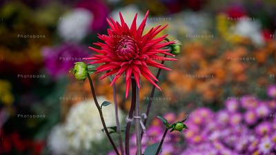 Red Dahlia flower