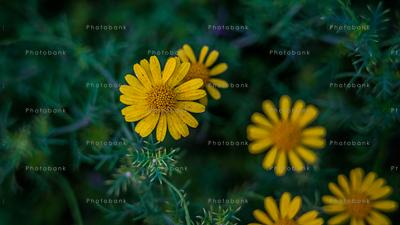 Yellow Dyssodia tenuiloba or thymophylla tenuiloba