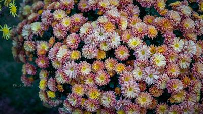 Argyranthemum