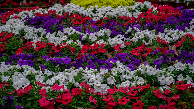 White, purple and red coloured Petunia