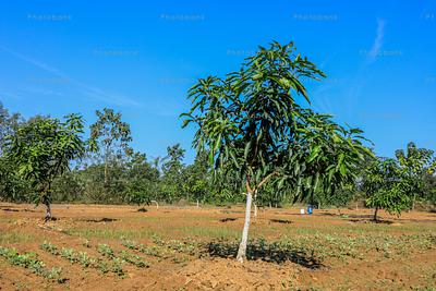 Mangoo tree