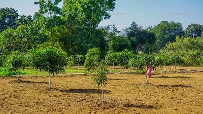 Small mango tree