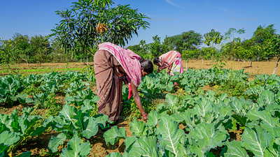 Female farmer in cabbage field