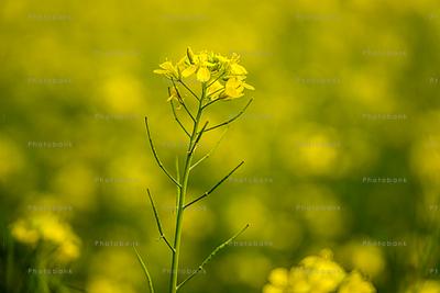Golden mustard flower