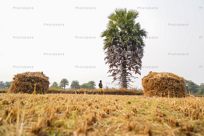 Crop stored in field after harvesting