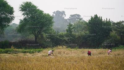 Few women harvesting crop in a field