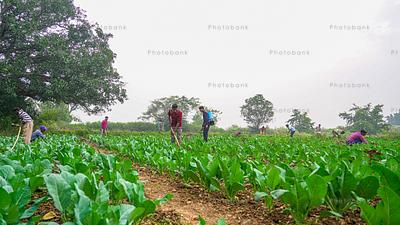 Cabbage farming in village