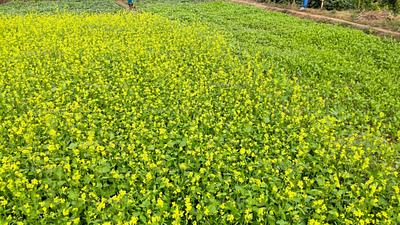 Yellow mustard field