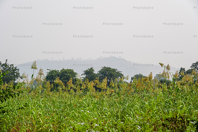 Bajra field