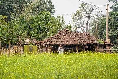Mustard field and small hut