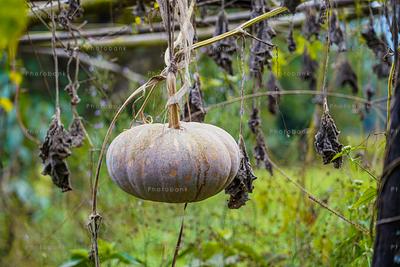 Pumpkin farming in Indian village