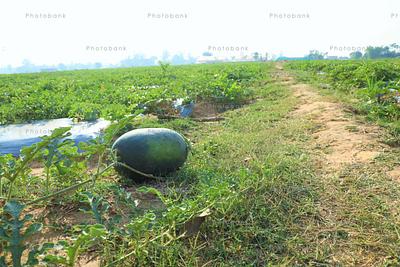 farming of water melon