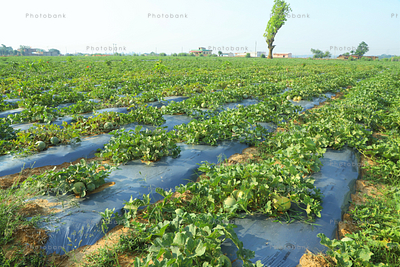 large farm land of melons