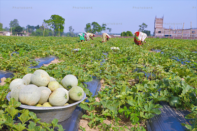 fresh melons from the field of Jharkhand
