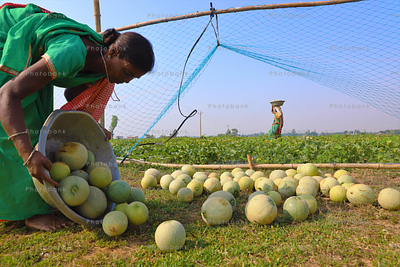 lady farmer collecting fresh melons from farm land