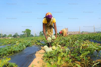 lady farmer picking fresh melons from farm land