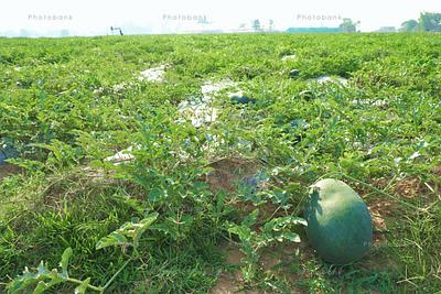 watermelon farmin in Jharkhand