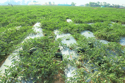 melon and watermelon farm land in Jharkhand