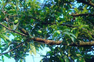 Mango Harvesting