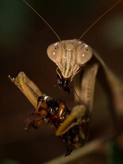 SPECIES SPOTLIGHT  |  PRAYING MANTIS