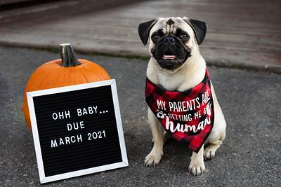 Pregnancy announcements and pug faces