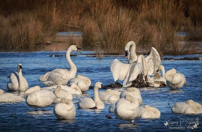 Tundra Swan Fight