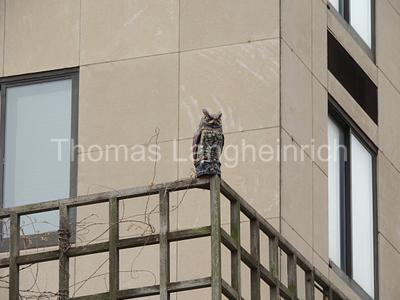 Fence Owl