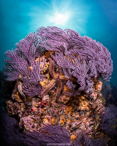Beautiful Purple Soft Corals swaying behind the desert sun of El Bajito, La Paz, Baja California Sur, Mexico