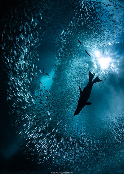 A lone California Sea Lion breaks the school of Sardines in Los Islotes, La Paz, Mexico