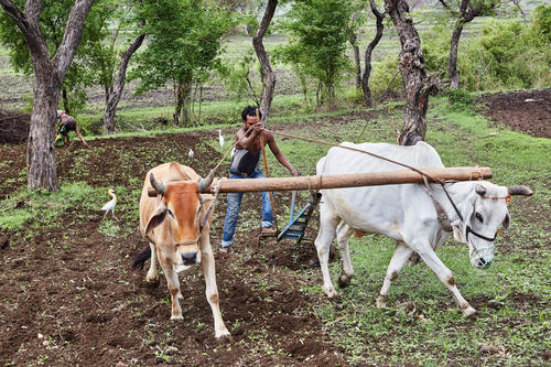 The cows and bulls, traditionally, play a vital role in Indian agriculture. Tractors and other mechanised means are being used now but since a lot of  farms are small holdings bulls are far more economical and efficient for doing the various farming jobs.
