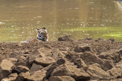 tiger cub, tadoba 2012