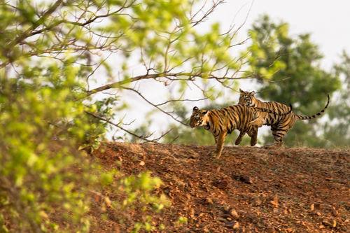 tiger cubs, tadoba 2012
