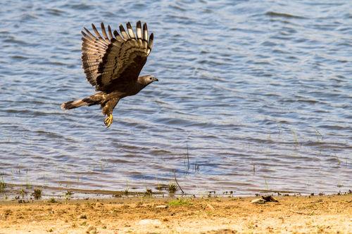 fish eagle, tadoba 2012