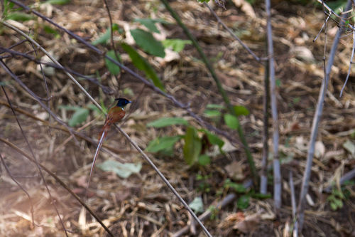 flycatcher, tadoba 2012