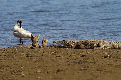 ibis and alligator, sariska 2012
