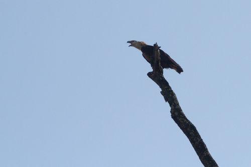 fish eagle, corbett 2012