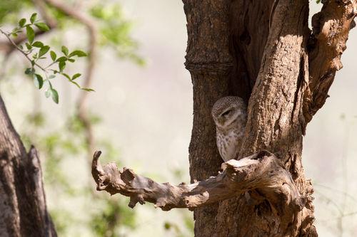 owlet, sariska 2013