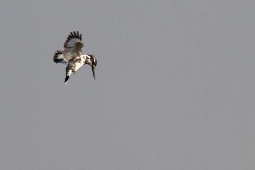 pied kingfisher, corbett 2012