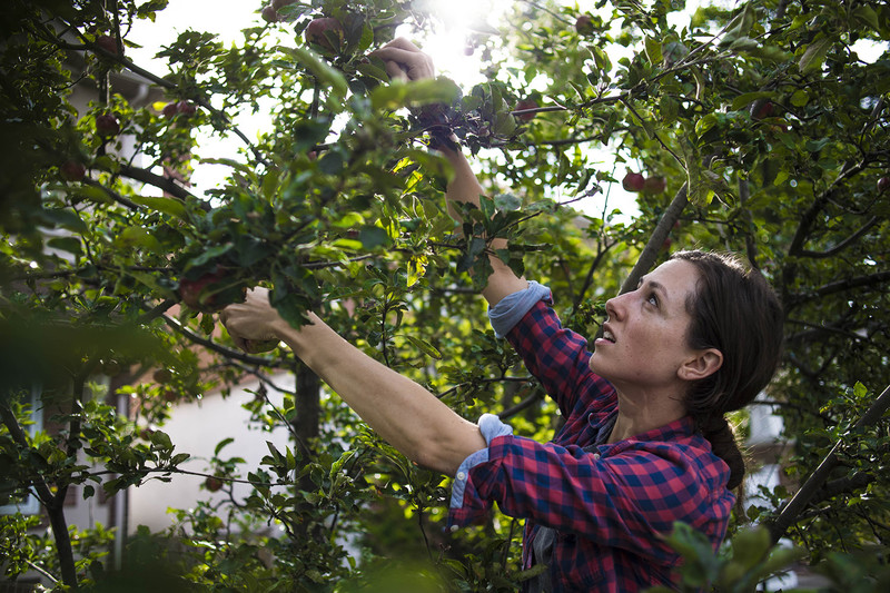 Megan Anevich, a volunteer with 'Not Far From the Tree' picks fruit on the city's east end, Toronto, Wednesday, September 13, 2017. The group harvests fruit from trees around the city.