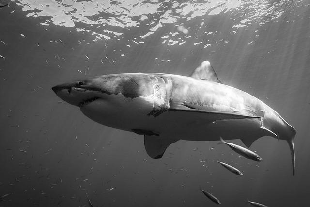 Prehistoric white sharks can help us save sharks in modern day