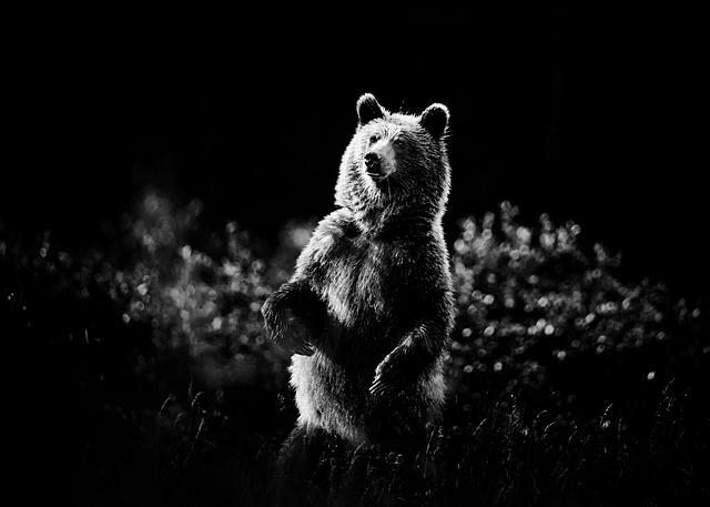 Kananaskis Bear