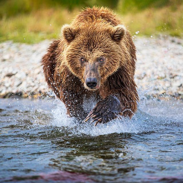 Diving Bear
